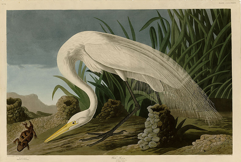 White Heron, Audubon Birds of America, Robert Havell jr engraved